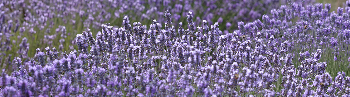 COLLECTION LAVENDER
